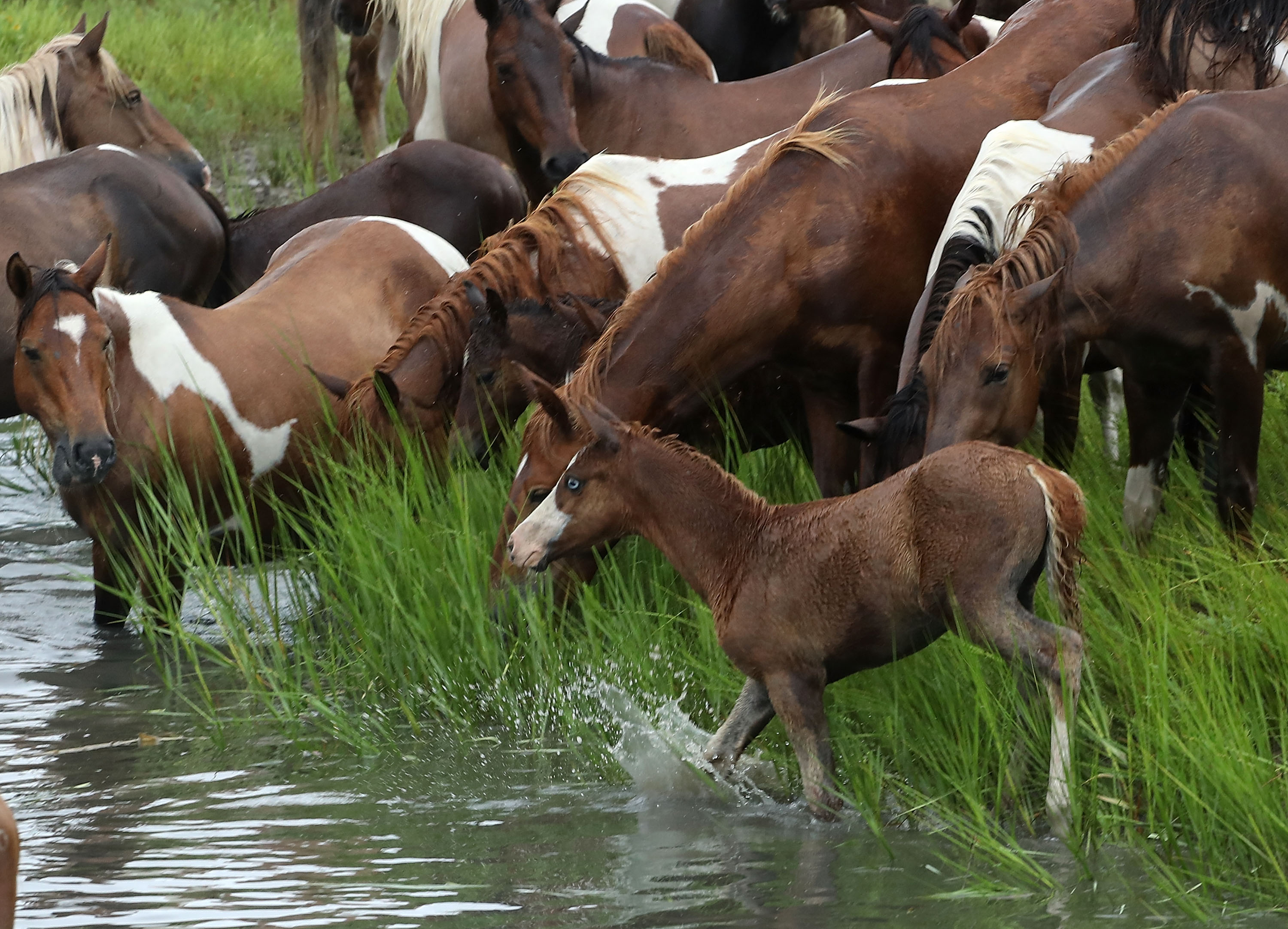 Wild ponies gather after swimming across the Assateague Channel during the 93rd annual pony swim from Assateague Island to Chincoteague on July 25, 2018 in Chincoteague Island, Virginia. Every year the wild ponies are rounded up on the Assateague national wildlife refuge to be auctioned off by the Chincoteague Volunteer Fire Company. (Photo by Mark Wilson/Getty Images)