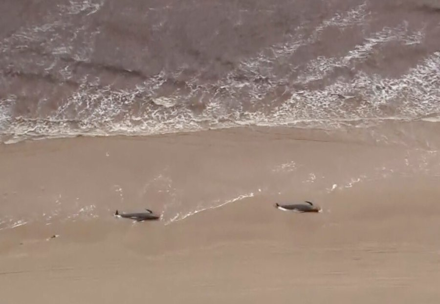 An image from aerial video shows numerous stranded whales along the coastline Wednesday near the remote west coast town of Strahan on the island state of Tasmania, Australia. More pilot whales were found stranded on an Australian coast Wednesday, raising the estimated total to almost 500 in the largest mass stranding ever recorded in the country. (Australian Broadcast Corporation via AP)