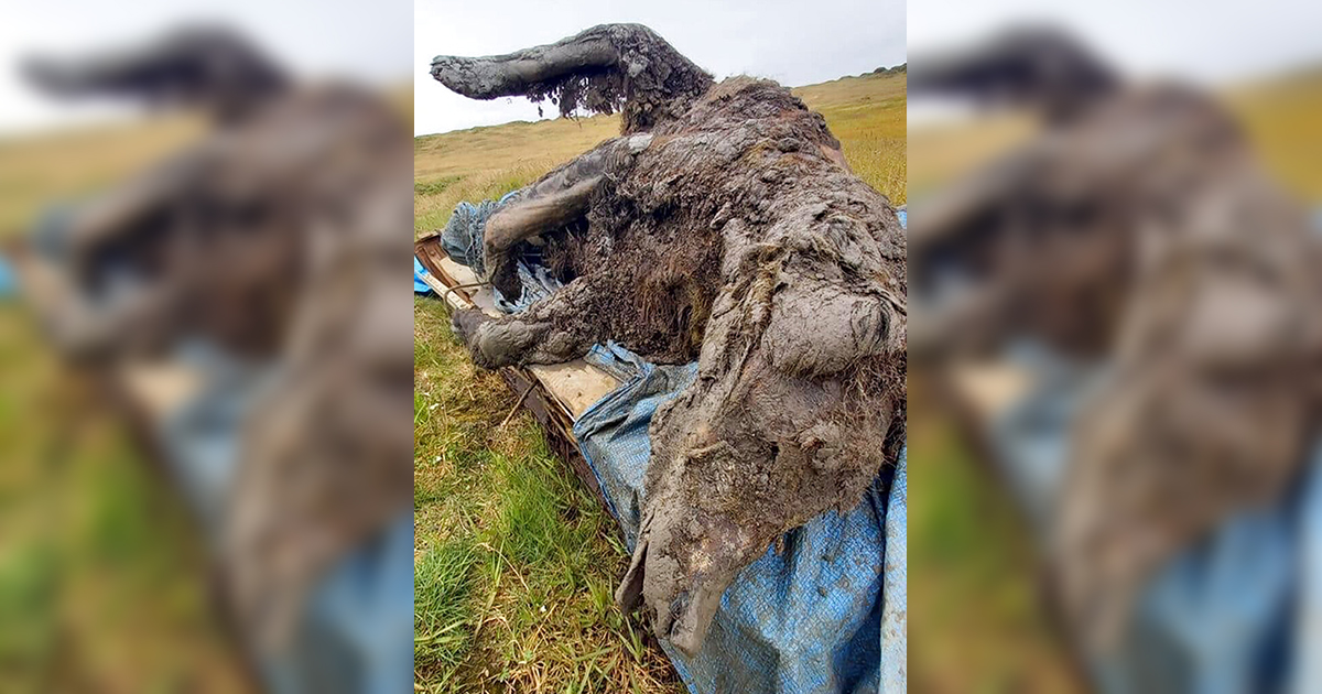 Reindeer herders in a Russian Arctic archipelago have found an immaculately preserved carcass of an Ice Age cave bear revealed by the melting permafrost, which has all its internal organs, teeth and even its nose intact. (North-Eastern Federal University via AP)