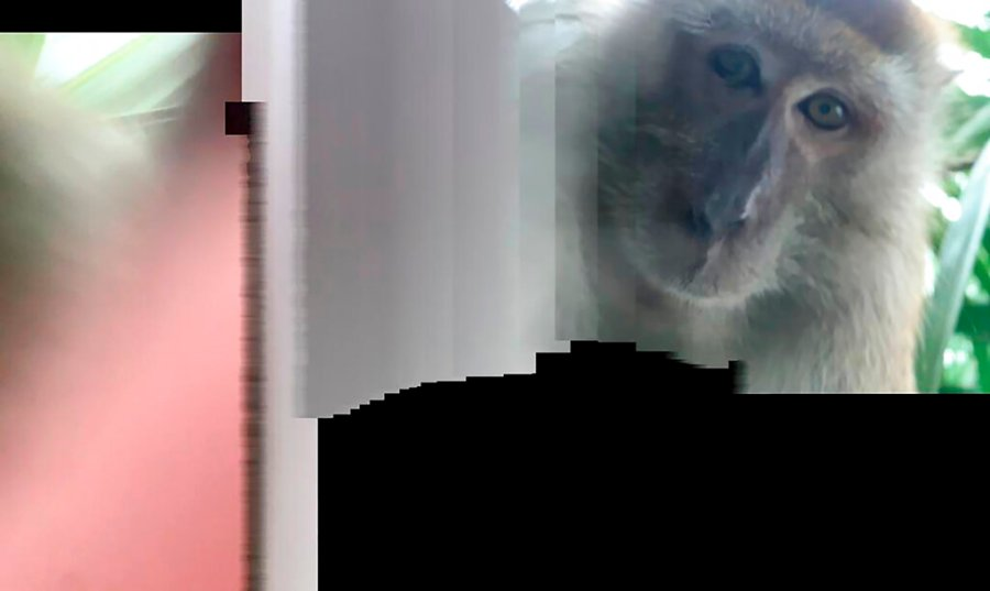 Photo provided by Zackrydz Rodzi shows a monkey which took a selfie in Batu Pahat in the southern state of Johor, Malaysia on Saturday. Rodzi, a Malaysian student whose cellphone was stolen while he was sleeping has tracked down the culprit: a monkey who took photo and video selfies with the device before abandoning it. The photo was shot in panorama mode. (Zackrydz Rodzi via AP Photo)