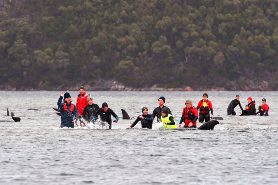 Members of a rescue crew stand with a whales on a sand bar near Strahan, Australia. Around one third of an estimated 270 pilot whales that became stranded on Australia's island state of Tasmania had died as rescuers managed to return 25 to the sea in an ongoing operation. (Brodie Weeding/Pool Photo via AP)