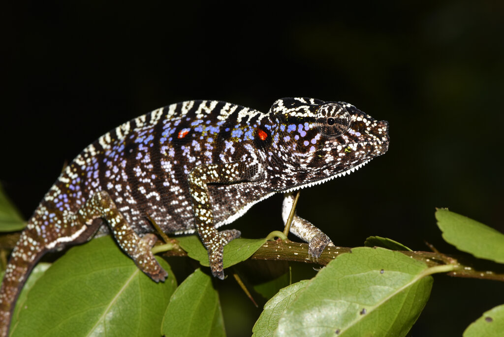 This photo provided by the Staatliche Naturwissenschftliche Sammlung Bayerns, SNSB, shows a Voeltzkow-Chameleon in Madagascar. Scientists say they have found an elusive chameleon species that was last spotted in Madagascar 100 years ago. Researchers from Madagascar and Germany said that they discovered several living specimens of Voeltzkow's chameleon during an expedition to the northwest of the African island nation. (SNSB/Frank Glaw via AP)