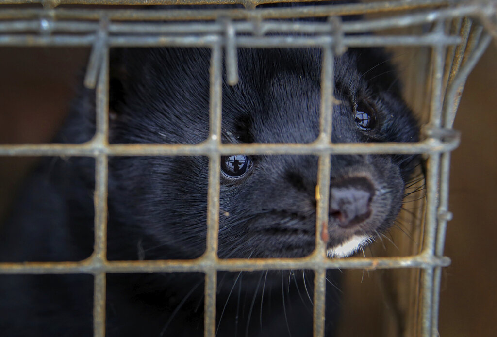 A mink looks out of a cage at a fur farm in the village of Litusovo, northeast of Minsk, Belarus in 2012. (AP Photo/Sergei Grits, File)