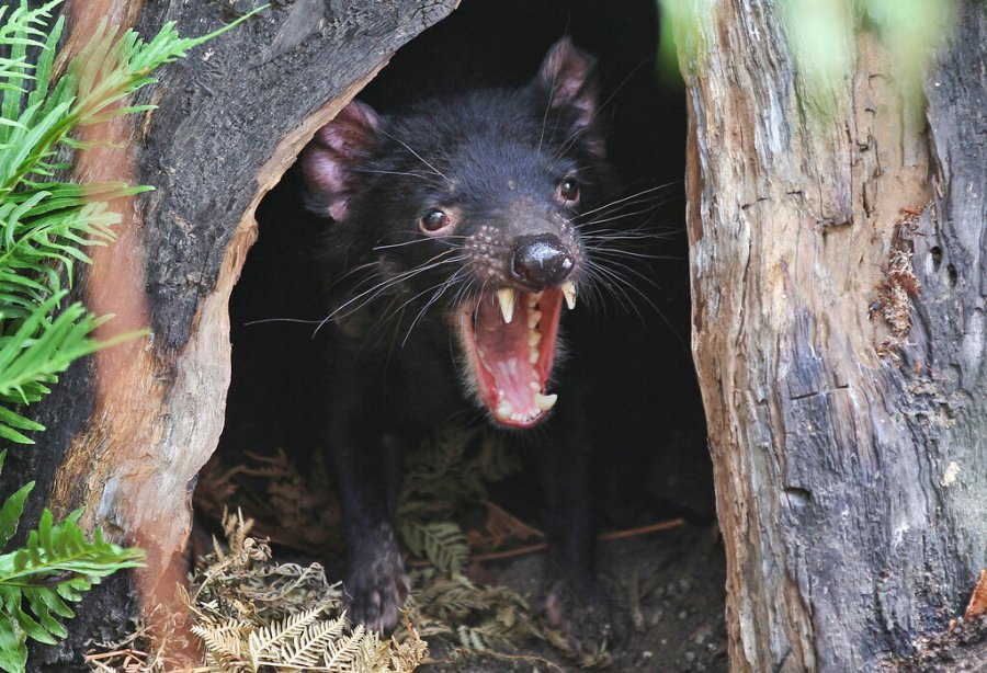 Big John the Tasmanian devil growls from the confines of his tree house as he makes his first appearance at the Wild Life Sydney Zoo in Sydney in 2012. Tasmanian devils, the carnivorous marsupials whose feisty, frenzied eating habits won the animals cartoon fame, have returned to mainland Australia for the first time in some 3,000 years.  (AP Photo/Rob Griffith, File)