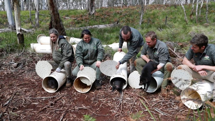 Tasmanian devils are released into the wild at Barrington Tops, New South Wales state, Australia, on Sept. 10, 2020. (Cristian Prieto/WildArk via AP)