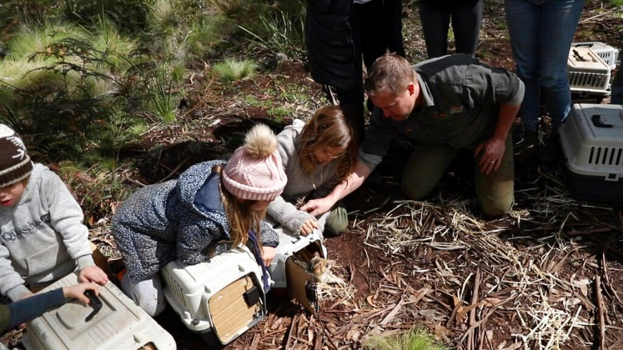Children help free Tasmanian devils in Barrington Tops, New South Wales state, Australia, September 10, 2020. Tasmanian devils, the exuberant marsupials who have become famous thanks to their cartoon depiction, recently made the their return to mainland Australia for the first time in about 3,000 years. (Cristian Prieto / WildArk via AP)