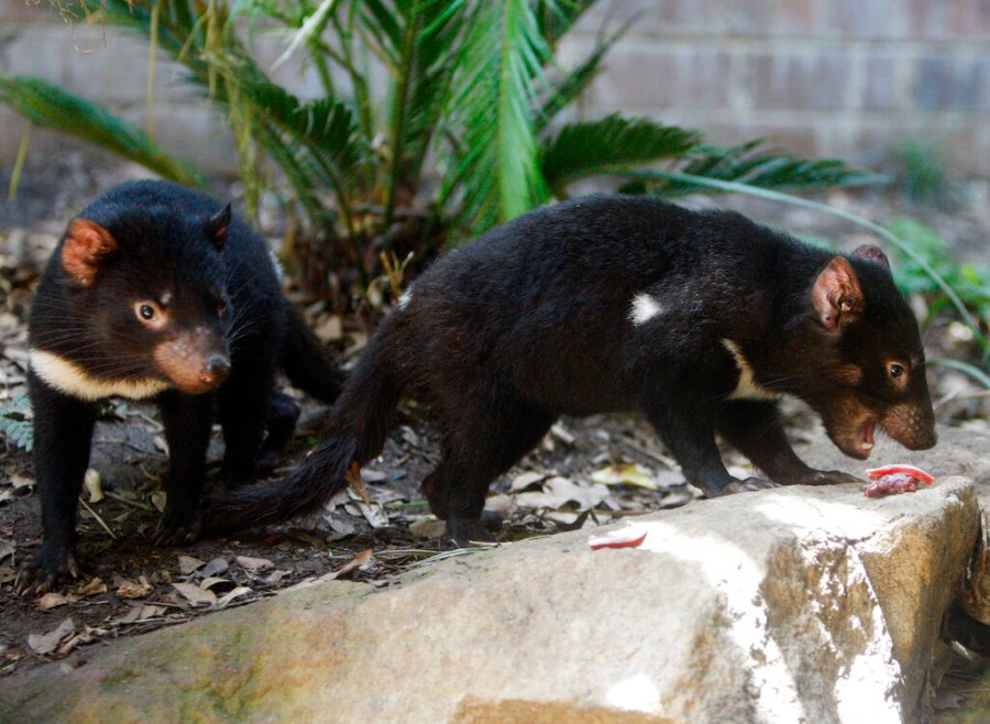 Tasmanian devil cubs search for food during a feeding session in their enclosure at Sydney's Taronga Zoo in 2009. (AP Photo/Mark Baker, File)