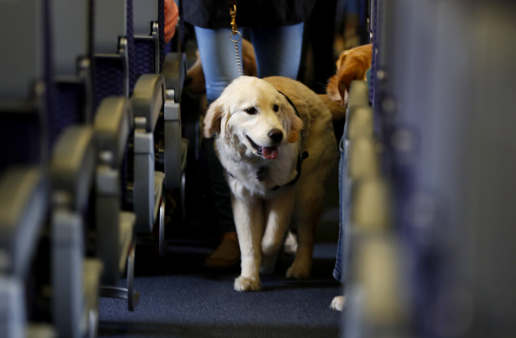 A service dog strolls through the isle inside a United Airlines plane at Newark Liberty International Airport while taking part in a training exercise in in 2017. The Transportation Department issued a final rule Wednesday covering service animals, saying only dogs can qualify, and they have to be specially trained to help a person with disabilities. For years, some travelers have been bringing untrained dogs and all kinds of other animals on board by claiming they need the animal for emotional support. (AP Photo/Julio Cortez, File)