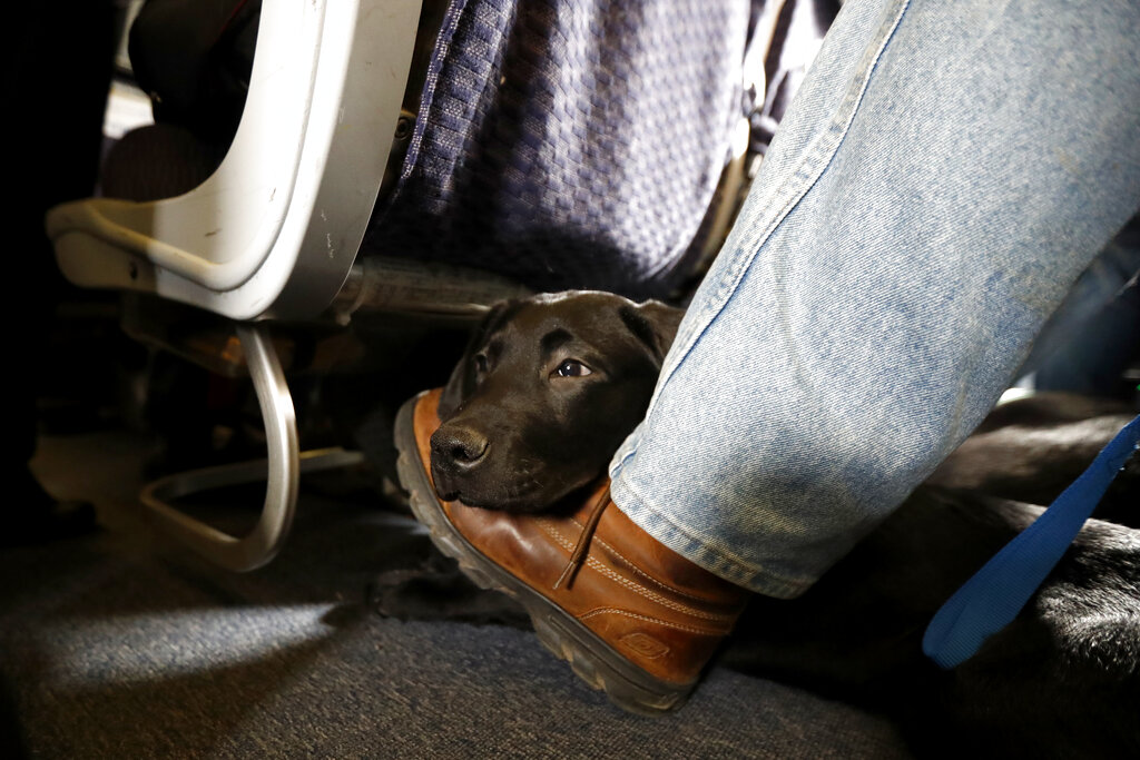 A service dog named Orlando rests on the foot of trainer, John Reddan while sitting inside a United Airlines plane at Newark Liberty International Airport during a training exercise in Newark, N.J. American Airlines is banning emotional-support animals in a move that will force most owners to pay extra if they want their pets to travel with them. The airline said Tuesday that it will allow animals in the cabin free of charge only if they are trained service dogs. The change takes effect Monday, although passengers who already bought tickets can fly with a companion animal until Feb. 1. (AP Photo/Julio Cortez, File)