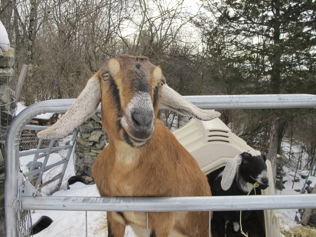 Lincoln, a Nubian goat, stands in her pen in Fair Haven, Vt. The goat and a dog who were each elected mayor of a Vermont town have helped raise money to renovate a community playground. The Fair Haven town manager came up with the oddball idea of pet mayor elections to raise money and to help get local kids civically involved. (AP Photo/Lisa Rathke)