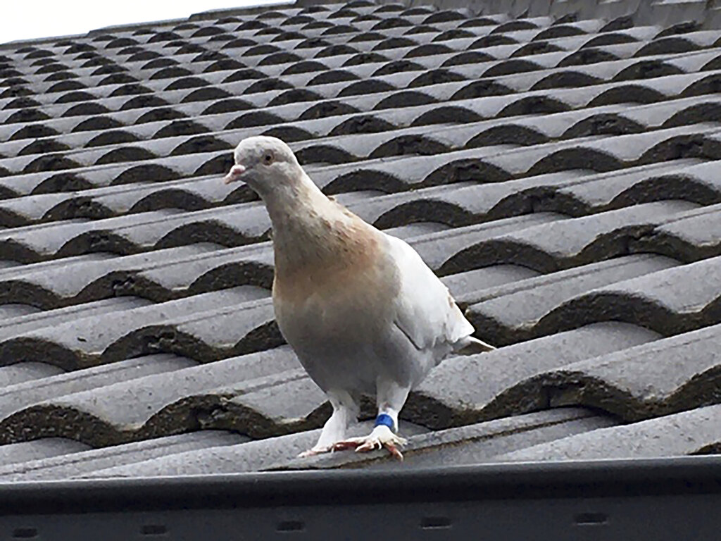 The pigeon in questions has a blue leg band as it stands on a rooftop in Melbourne, Australia. A U.S. bird organization said the leg band identifying the bird as a U.S. racing pigeon was counterfeit, which may save the bird from strict Australian biosecurity policies that would call for a U.S. pigeon to be killed. (Kevin Celli-Bird via AP, File)