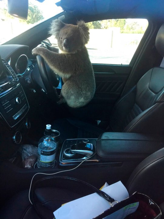 A photo released by Nadia Tugwell, shows a koala inside Tugwell's car in Adelaide, Australia on Monday, Feb. 8, 2021. The koala has been rescued after causing a five-car pileup while trying to cross a six-lane freeway in southern Australia. (Nadia Tugwell via AP)