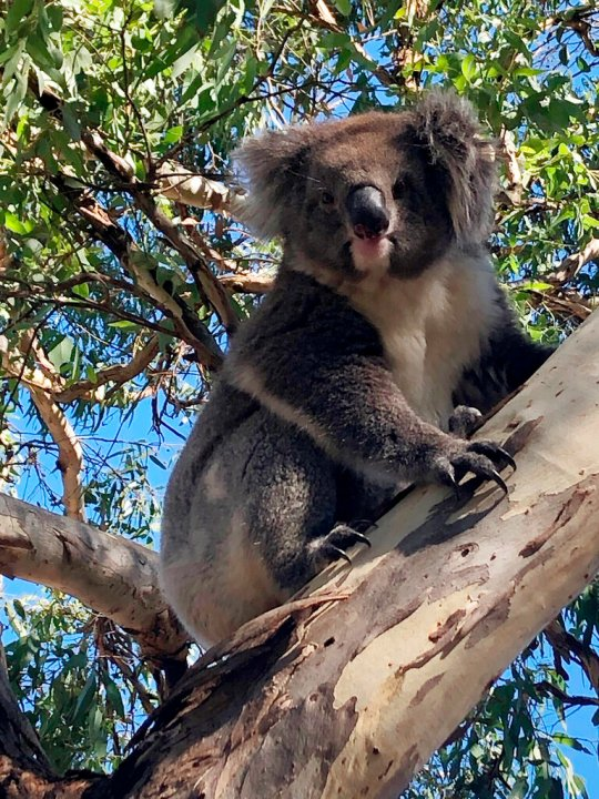 This photo released by Nadia Tugwell, shows the koala on eucalyptus tree after being released. (Nadia Tugwell via AP)