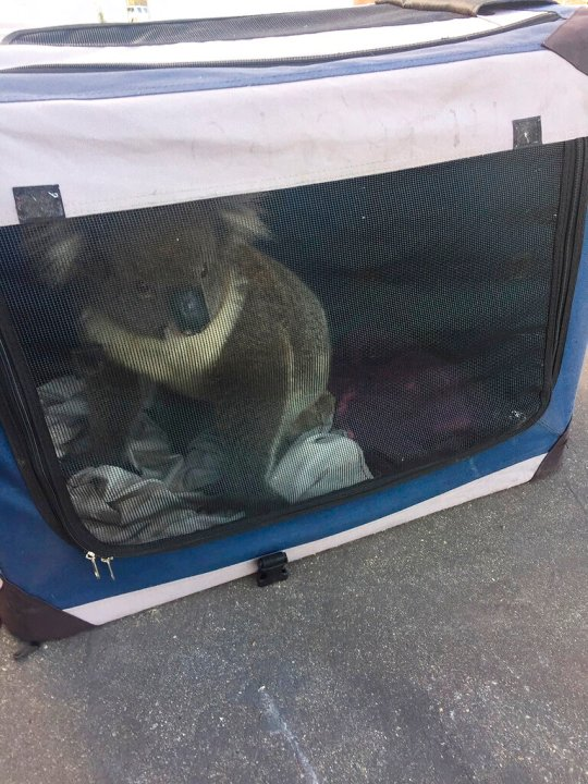 This photo released by Nadia Tugwell, shows a koala inside a soft cage after being picked up by Adelaide Koala Rescue, before being transported to the Adelaide Hills. (Nadia Tugwell via AP)