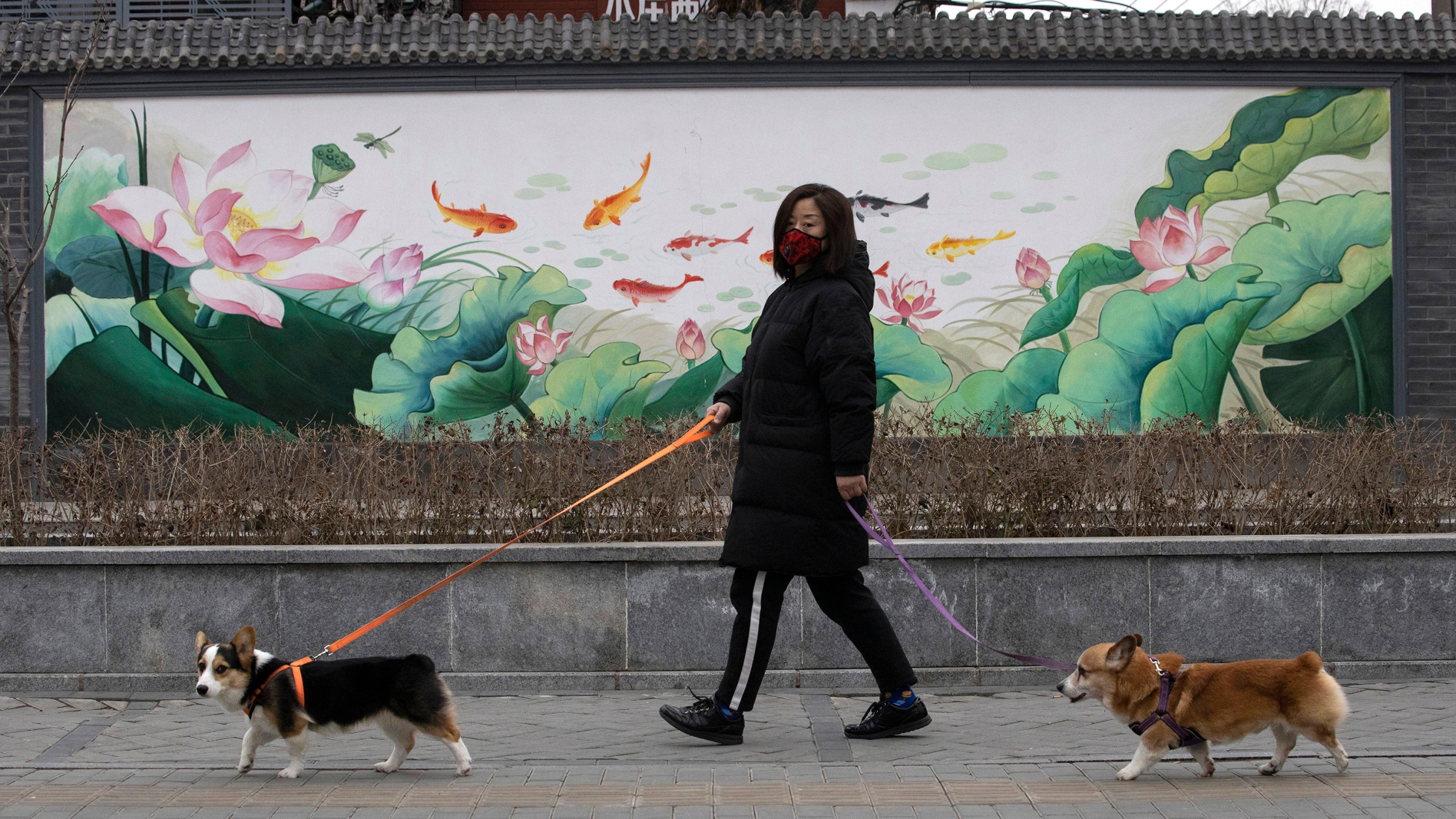 A resident wearing mask walks her dogs in Beijing. Pet cats and dogs cannot pass the new coronavirus on to humans, but they can test positive for low levels of the pathogen if they catch it from their owners. That's the conclusion of Hong Kong's Agriculture, Fisheries and Conservation Department after a dog in quarantine tested weak positive for the virus. (AP Photo/Ng Han Guan, File)