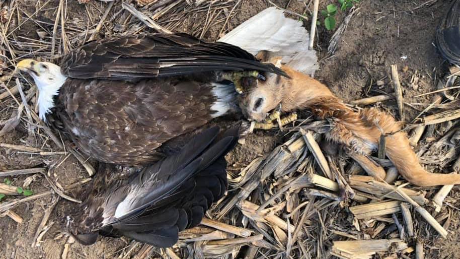 Bald Eagle Clutching Deer Head