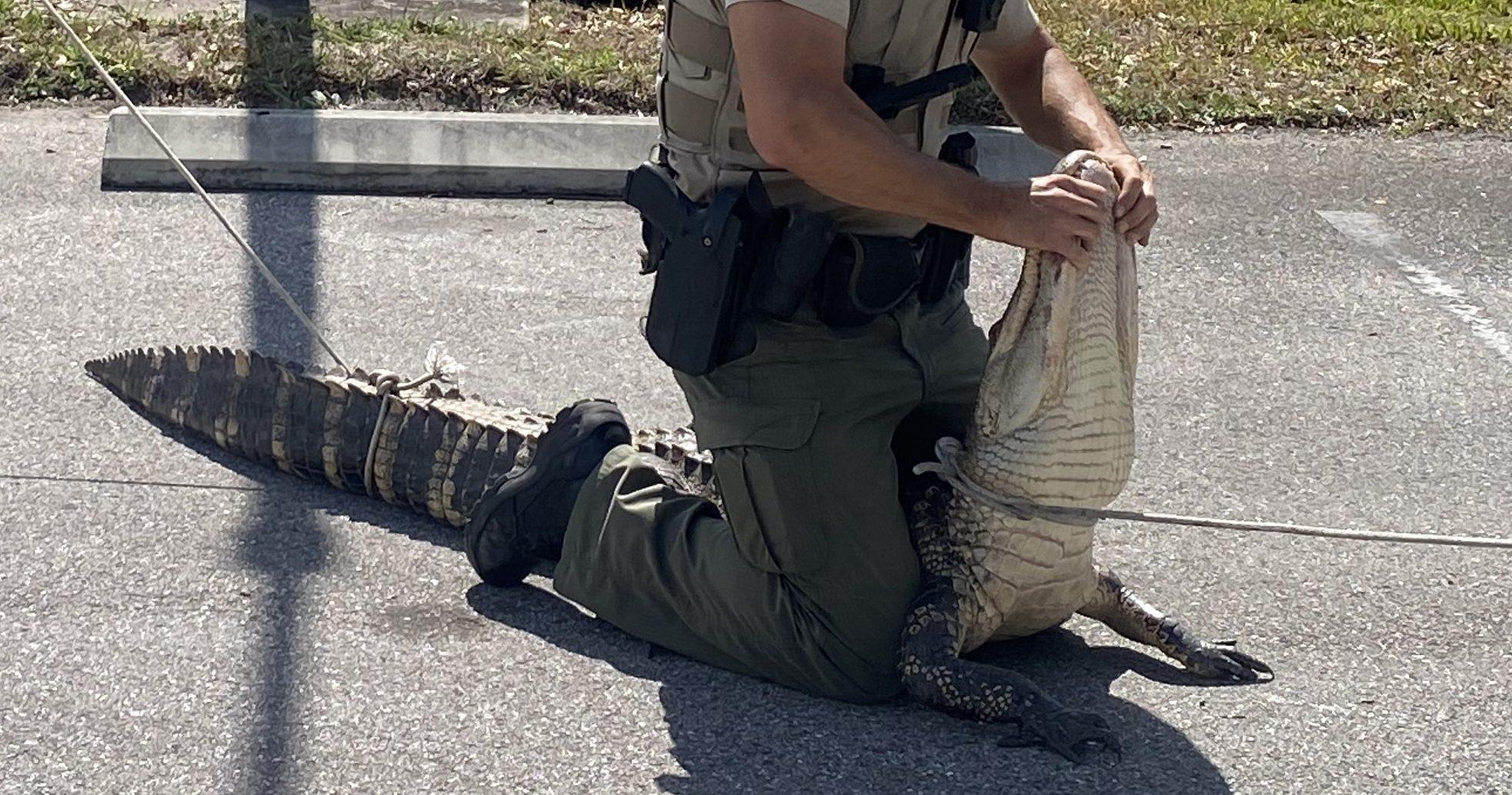 Alligator Parking Lot Florida