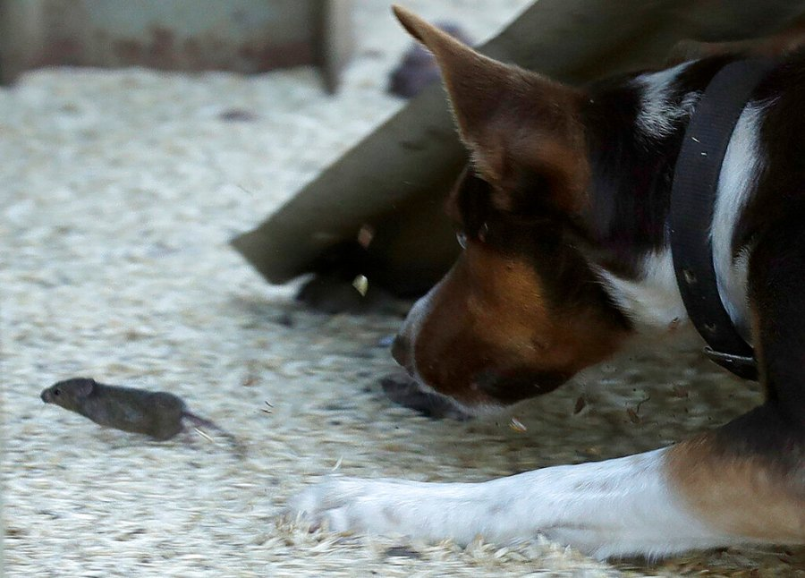 Hank, a working dog turned mouser, chases a mouse on a farm near Tottenham, Australia, on May 19, 2021. (AP Photo/Rick Rycroft)
