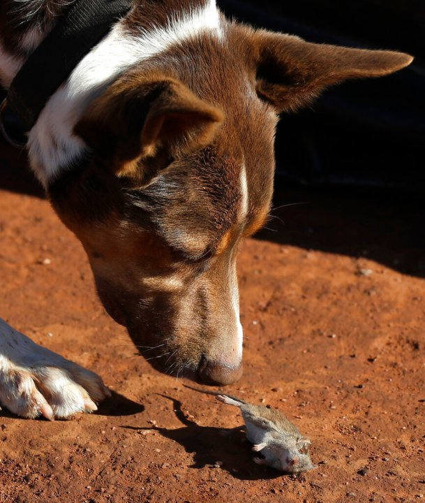 Hank, a working dog turned mouser, drops a mouse he caught on a farm near Tottenham, Australia on May 19, 2021. (AP Photo/Rick Rycroft)