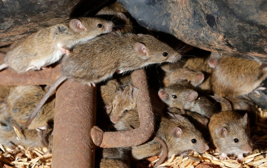 """Mice scurry around stored grain on a farm near Tottenham, Australia on May 19, 2021. Vast tracts of land in Australia's New South Wales state are being threatened by a mouse plague that the state government describes as """"absolutely unprecedented."""" Just how many millions of rodents have infested the agricultural plains across the state is guesswork. (AP Photo/Rick Rycroft)"""
