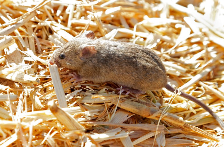 A mouse sits on top of hay stored by Bruce Barnes on his family's farm near Bogan Gate, Australia on May 20, 2021. (AP Photo/Rick Rycroft)