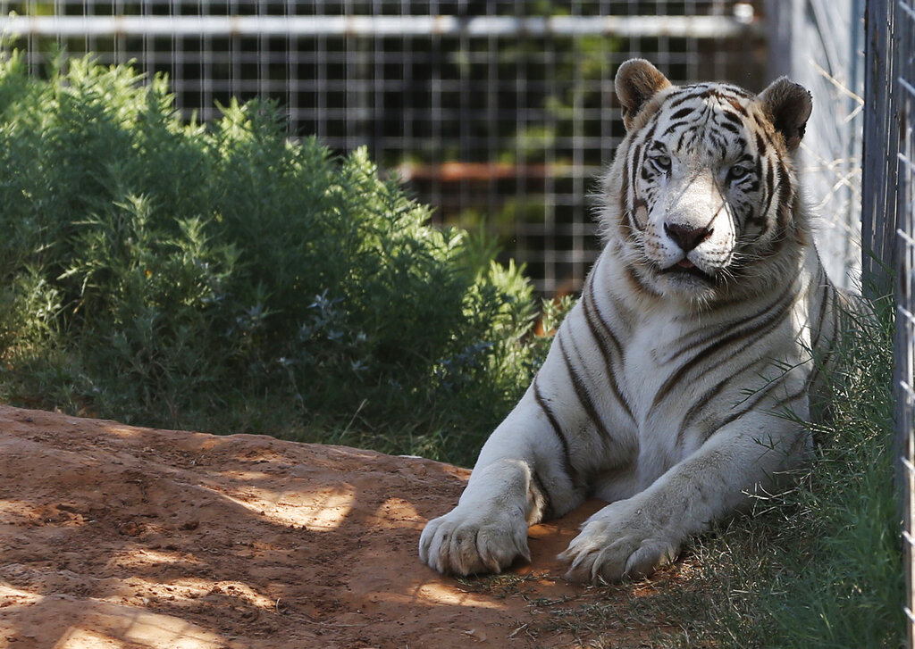 """One of the tigers living at the Greater Wynnewood Exotic Animal Park is pictured at the park in Wynnewood, Okla. in 2013. The operator of the zoo Jeff Lowe, who was featured on """"Tiger King,"""" and his wife are willing to give up all their big cats to resolve a U.S. Justice Department civil complaint against them over animal care. (AP Photo/Sue Ogrocki, File)"""