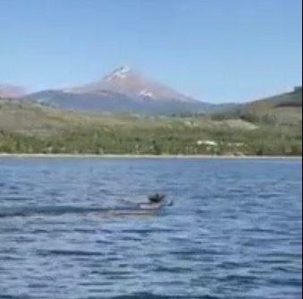 Moose swim