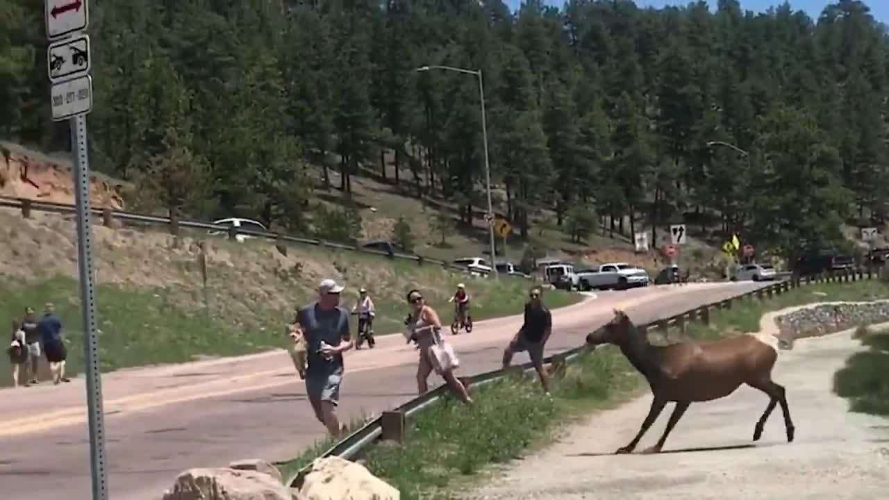 Aggressive elk