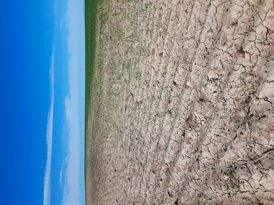 This photo provided by the Phillips County Extension Agency shows a wheat field damaged by grasshoppers, June 18, 2021, near Malta, Mont. U.S. agriculture officials are launching their largest campaign since the 1980s to kill grasshoppers in western states amid an outbreak of the voracious insects. A punishing drought in the U.S. West is drying up waterways, sparking wildfires and leaving farmers scrambling for water. Next up: a plague of voracious grasshoppers. (Marko Manoukian/Phillips County Extension Agency via AP)