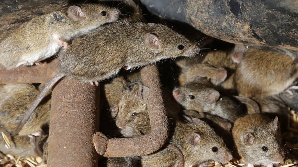 Australia Mice Plague