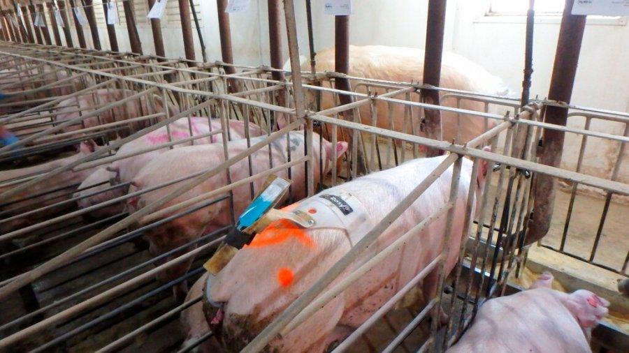 Pigs Iowa