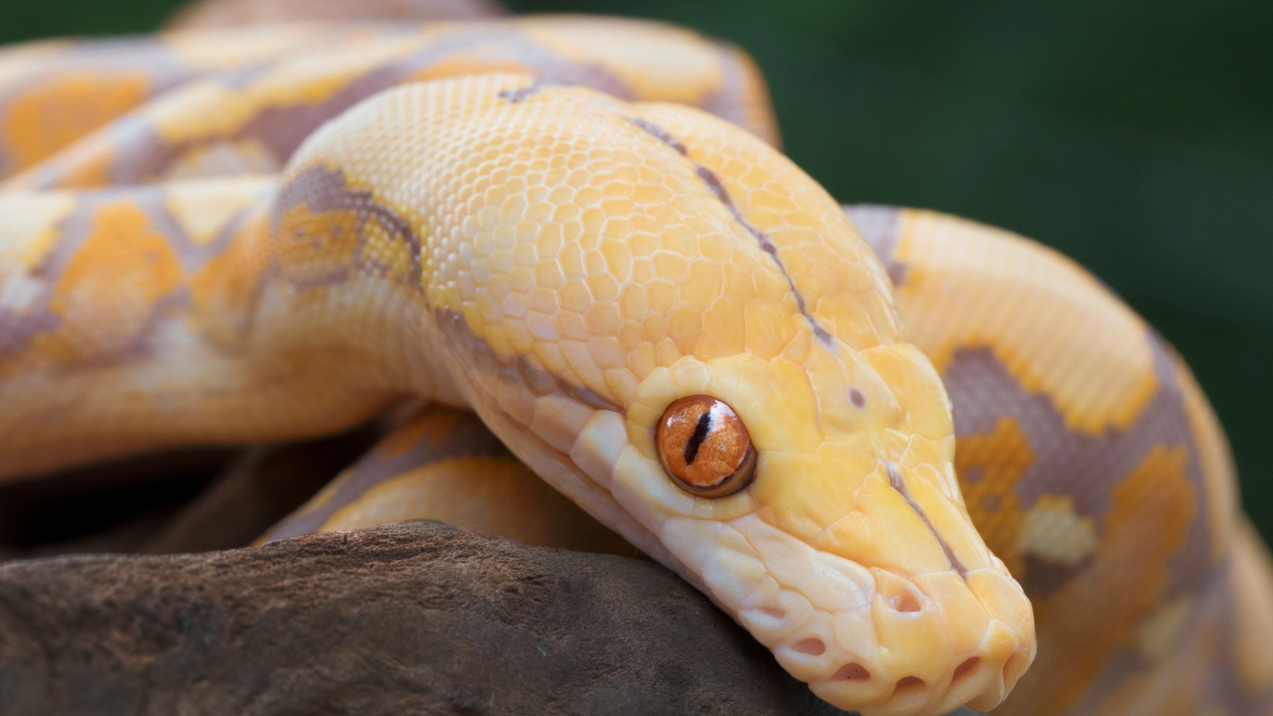 Albino Reticulated Python (Getty Images file)