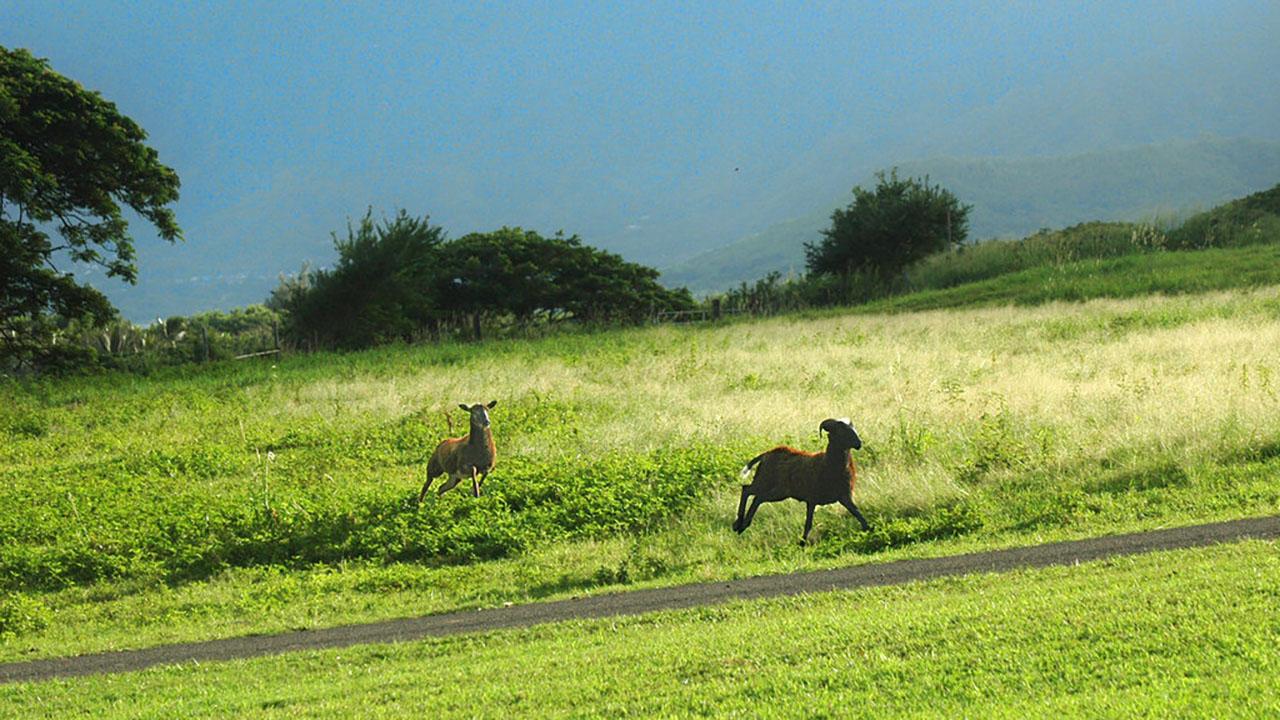 Goats in Hawaii