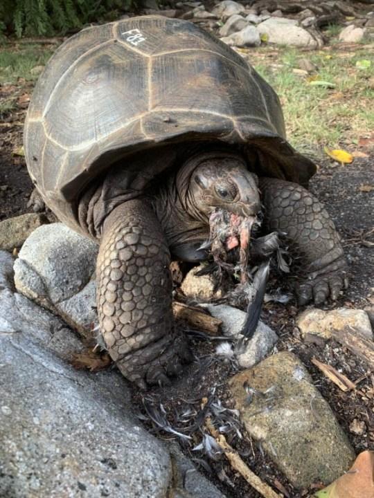 Tortoise Eating Tern 2