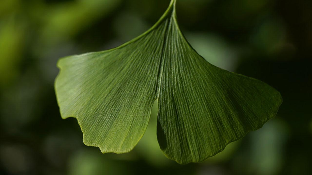 Fan-shaped ginkgo leaf