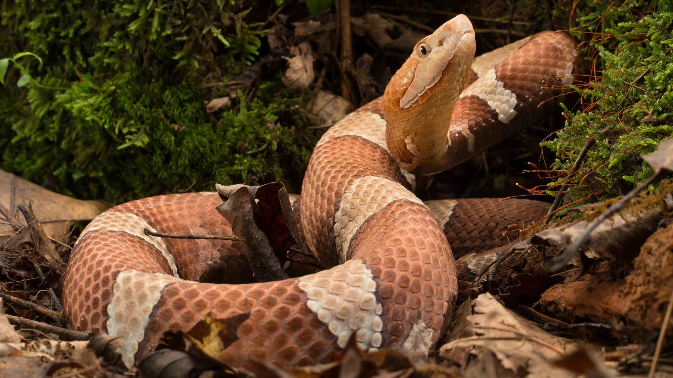 Broad-banded Copperhead (Getty Images)