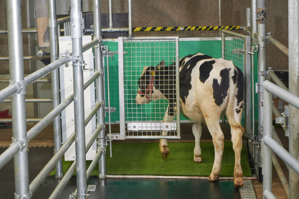 """In this undated photo provided by the Research Institute for Farm Animal Biology in Dummerstorf, Germany, a calf enters an astroturf-covered pen nicknamed """"MooLoo"""" to urinate. The scientists, mimicking the process of putting a toddler on the potty until he or she has to go, put the cows in and waited until they urinated and then gave them a reward: a super sweet liquid of mostly molasses. (Thomas Häntzschel/FBN via AP)"""