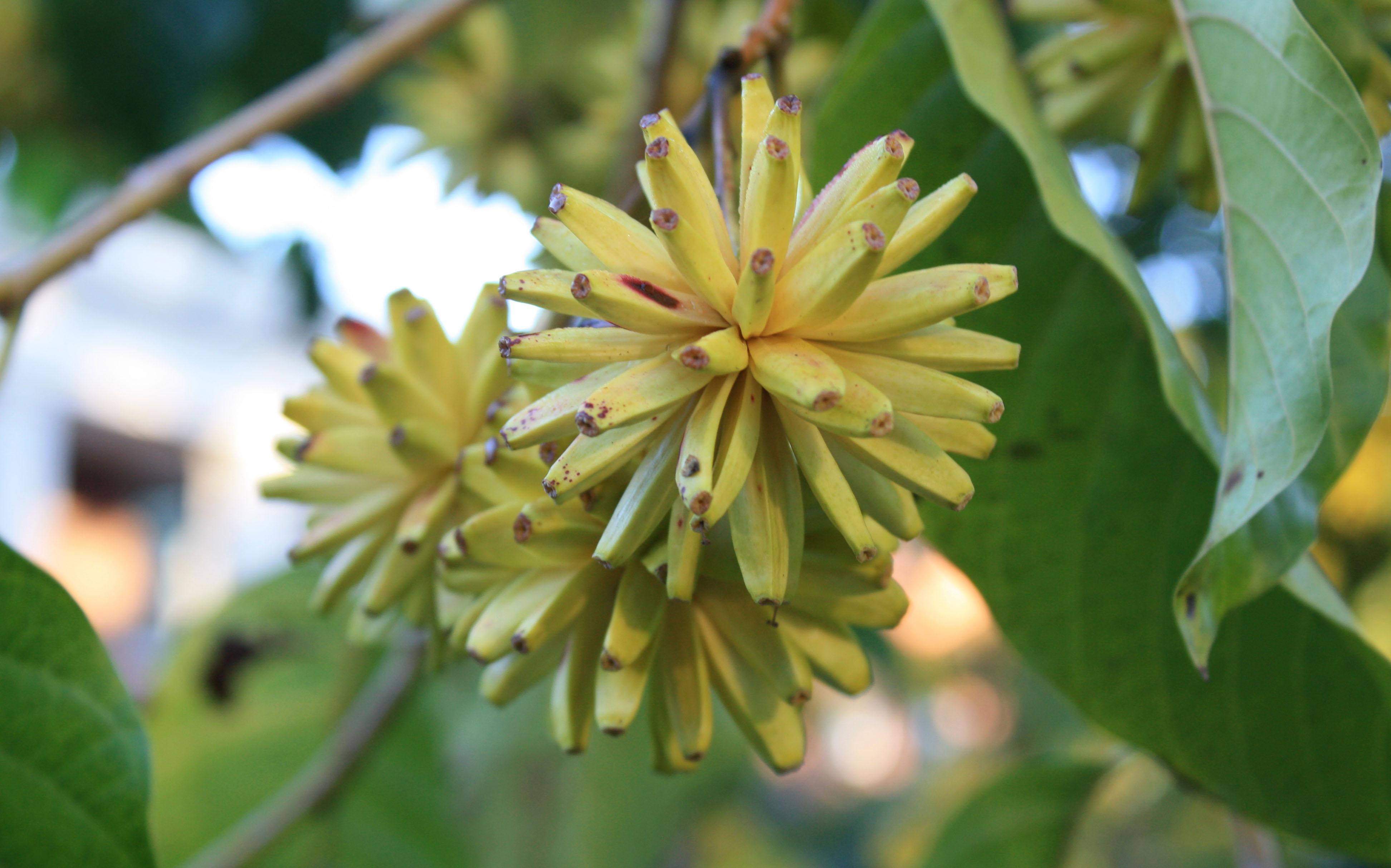 Tree of Life Camptotheca acuminata Xi Shu Happy Tree Cancer Tree Seeds